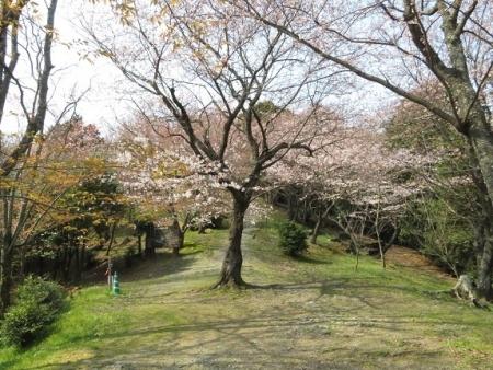 女山の桜 2019-03-26 029