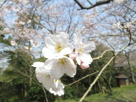 女山の桜 2019-03-26 044