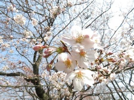女山の桜 2019-03-26 041