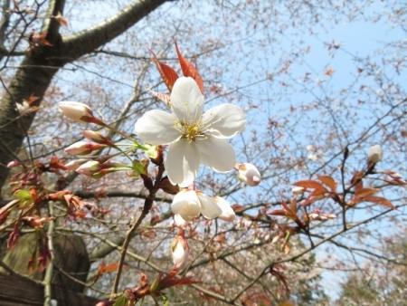 女山の桜 2019-03-26 045