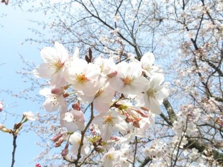 女山の桜 2019-03-26 047