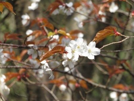 女山の桜 2019-03-26 055