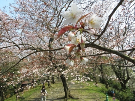 女山の桜 2019-03-26 049