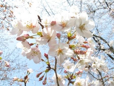 女山の桜 2019-03-26 048