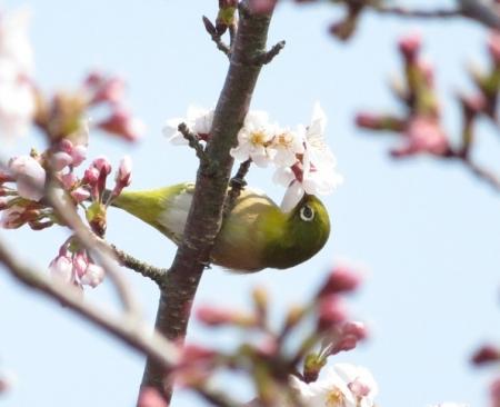 女山の桜 2019-03-26 060