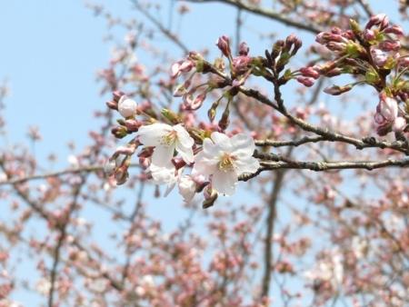 女山の桜 2019-03-26 059