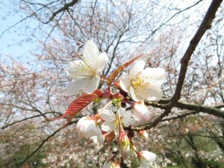 女山の桜 2019-03-26 076