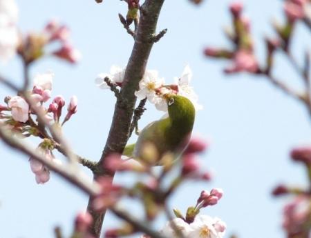 女山の桜 2019-03-26 061