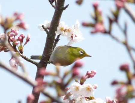 女山の桜 2019-03-26 062