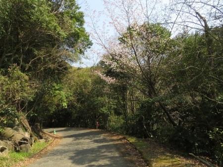 女山の桜 2019-03-26 001