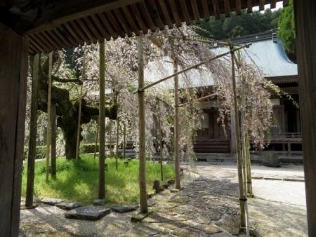 光明寺のしだれ桜 2019-03-29 007