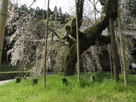 光明寺のしだれ桜 2019-03-29 026