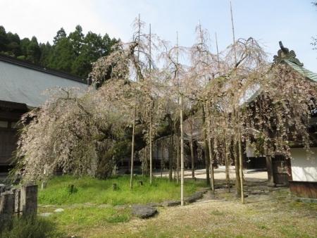 光明寺のしだれ桜 2019-03-29 023