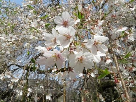 光明寺のしだれ桜 2019-03-29 018