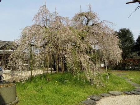 光明寺のしだれ桜 2019-03-29 016