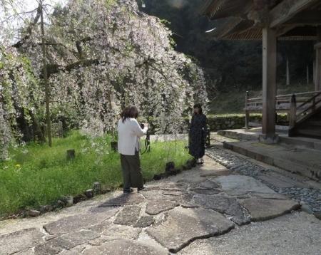 光明寺のしだれ桜 2019-03-29 039