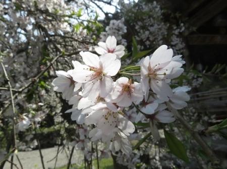 光明寺のしだれ桜 2019-03-29 064