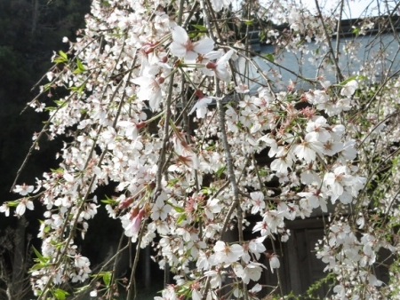 光明寺のしだれ桜 2019-03-29 031