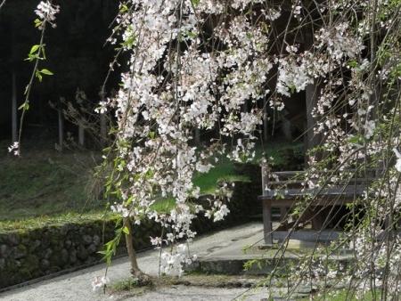 光明寺のしだれ桜 2019-03-29 029