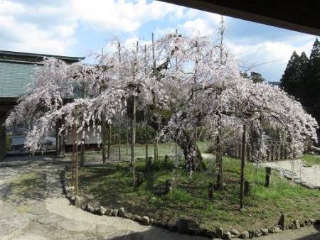 しだれ桜2015032717190324es