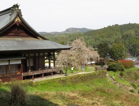光明寺のしだれ桜 2019-03-29 051