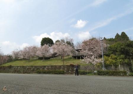 光明寺のしだれ桜 2019-03-29 150