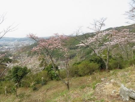 光明寺のしだれ桜 2019-03-29 129