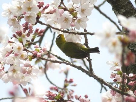 光明寺のしだれ桜 2019-03-29 143