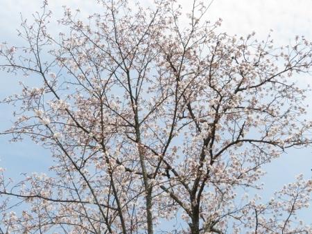 光明寺のしだれ桜 2019-03-29 141