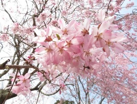 光明寺のしだれ桜 2019-03-29 110