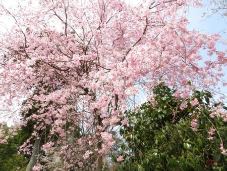 光明寺のしだれ桜 2019-03-29 111