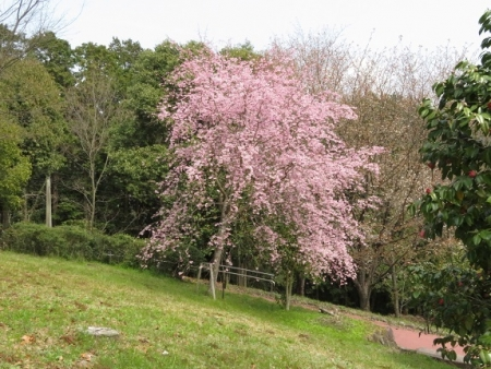 光明寺のしだれ桜 2019-03-29 121