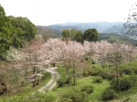 光明寺のしだれ桜 2019-03-29 145