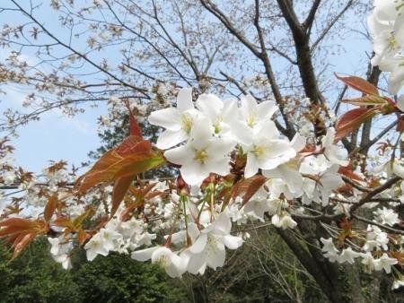 光明寺のしだれ桜 2019-03-29 115