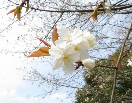 光明寺のしだれ桜 2019-03-29 114