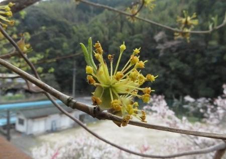 光明寺のしだれ桜 2019-03-29 176