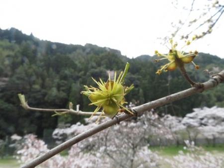光明寺のしだれ桜 2019-03-29 179