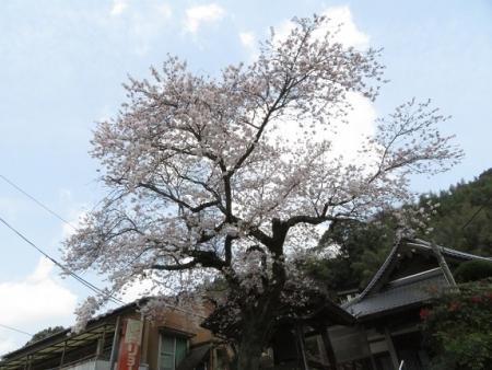 光明寺のしだれ桜 2019-03-29 162