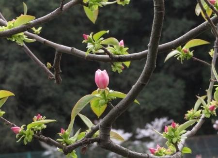 光明寺のしだれ桜 2019-03-29 184