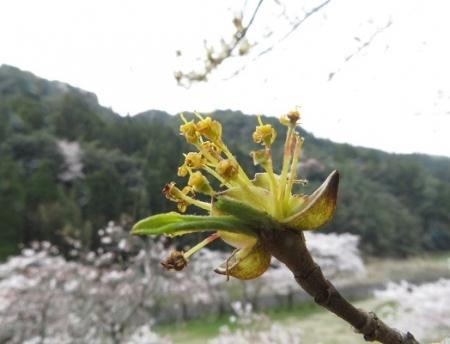 光明寺のしだれ桜 2019-03-29 180
