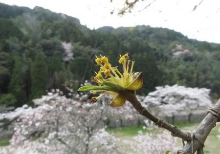 光明寺のしだれ桜 2019-03-29 181