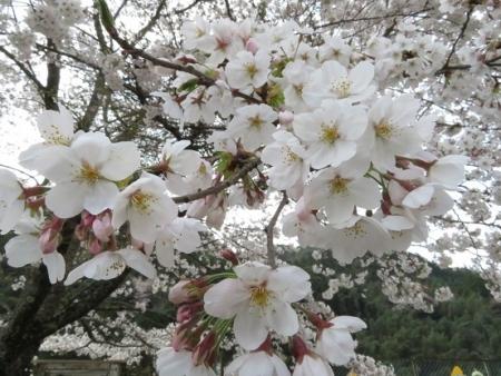光明寺のしだれ桜 2019-03-29 172