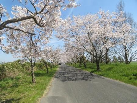 佐賀空港の桜 2019-04-04 011