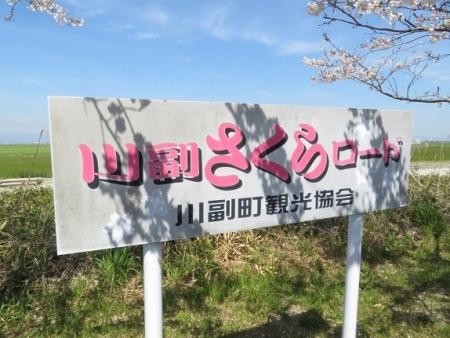佐賀空港の桜 2019-04-04 008