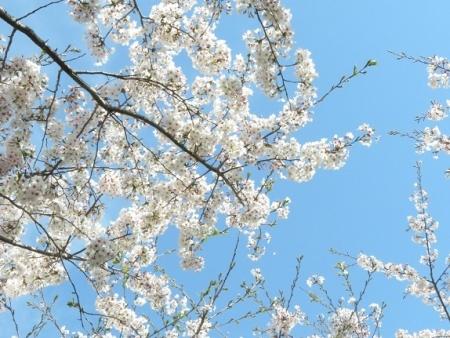 佐賀空港の桜 2019-04-04 021