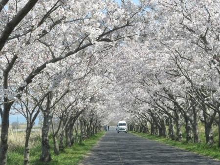 佐賀空港の桜 2019-04-04 020