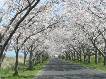佐賀空港の桜 2019-04-04 019