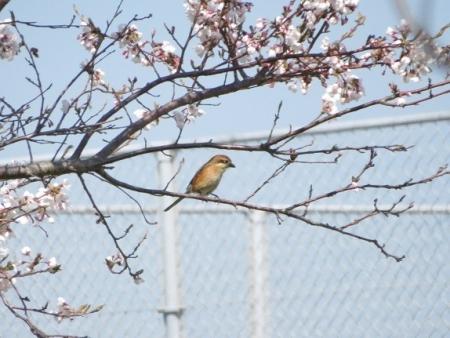佐賀空港の桜 2019-04-04 044