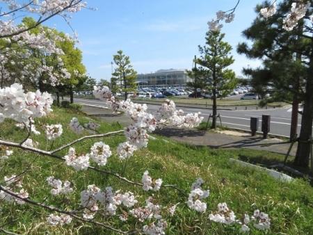 佐賀空港の桜 2019-04-04 028