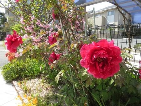 ボンタンの花 2019-04-08 014